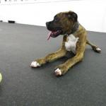 Jacksonville Dog Boarding Options
